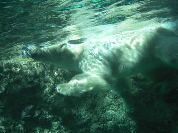 ホッキョクグマ水中全身1.jpg
