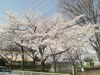 児童公園の桜.jpg